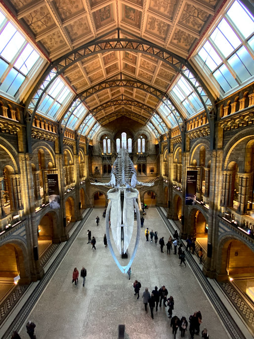 Whale skeleton in London's Natural History Museum